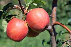 Primo piano delle mele sull'albero Immagini Stock
