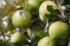 Primo piano delle mele verdi su un ramo in un frutteto Immagini Stock Libere da Diritti