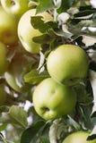 Primo piano delle mele verdi su un ramo in un frutteto Immagine Stock Libera da Diritti