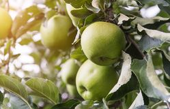 Primo piano delle mele verdi su un ramo in un frutteto Fotografia Stock