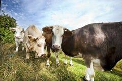 Primo piano delle mucche in pascolo contro cielo blu Immagine Stock