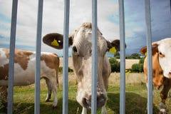 Primo piano delle mucche in penna contro cielo blu fotografia stock libera da diritti