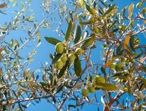 Primo piano delle olive e delle foglie su di olivo Immagine Stock