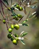 Primo piano delle olive, olio d'oliva, Andalusia, Spagna Fotografia Stock