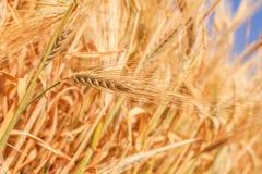 Primo piano delle orecchie del grano fotografia stock libera da diritti