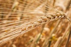 Primo piano delle orecchie del grano fotografie stock
