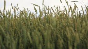 Primo piano delle orecchie del grano nel campo video d archivio