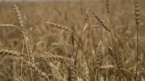 Primo piano delle orecchie del grano nel campo stock footage