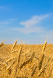 Primo piano delle orecchie dorate del grano pronte per il raccolto Immagini Stock Libere da Diritti
