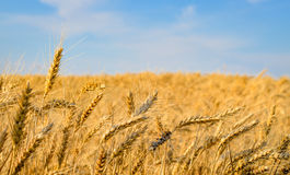 Primo piano delle orecchie dorate del grano pronte per il raccolto Fotografia Stock