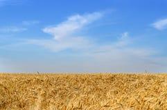Primo piano delle orecchie dorate del grano pronte per il raccolto Fotografie Stock
