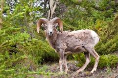 Primo piano delle pecore Immagini Stock Libere da Diritti