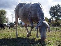 Primo piano delle pecore immagine stock libera da diritti
