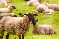 Primo piano delle pecore che pascolano nel campo verde Immagini Stock