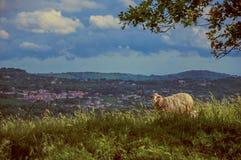 Primo piano delle pecore con i campi e le colline immagine stock