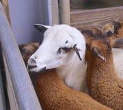 Primo piano delle pecore del Camerun Immagine Stock
