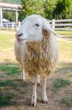 Primo piano delle pecore lunghe della lana sull'azienda agricola Immagini Stock