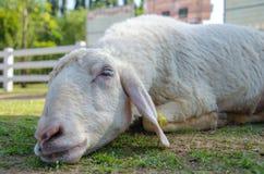 Primo piano delle pecore lunghe della lana sull'azienda agricola Fotografie Stock