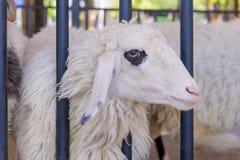 Primo piano delle pecore lunghe della lana sull'azienda agricola Fotografia Stock Libera da Diritti