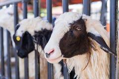 Primo piano delle pecore lunghe della lana sull'azienda agricola Immagine Stock