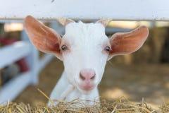 Primo piano delle pecore lunghe della lana sull'azienda agricola Immagine Stock Libera da Diritti