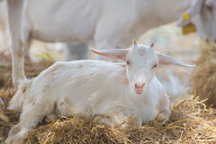 Primo piano delle pecore lunghe della lana sull'azienda agricola Immagini Stock Libere da Diritti