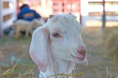Primo piano delle pecore lunghe della lana sull'azienda agricola Fotografie Stock Libere da Diritti