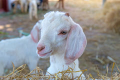 Primo piano delle pecore lunghe della lana sull'azienda agricola Fotografia Stock