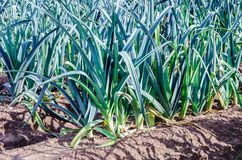 Primo piano delle piante del porro coltivate in suolo Fotografia Stock