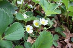 Primo piano delle piante di fragola in fioritura Fotografie Stock Libere da Diritti