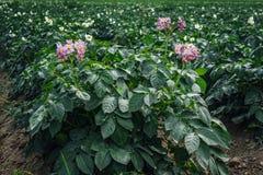 Primo piano delle piante di patate con i fiori nel colore rosa e bianco Fotografie Stock Libere da Diritti