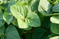 Primo piano delle piante di soia verde Fotografia Stock