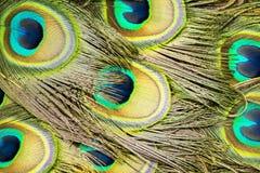Primo piano delle piume di coda del pavone immagine stock