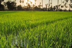 Primo piano delle risaie con l'albero della palma da zucchero al tramonto Immagine Stock