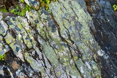 Primo piano delle rocce grige coperte di muschio, modello dei chip, crepe Grindelwald, Svizzera Fotografia Stock Libera da Diritti