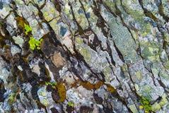 Primo piano delle rocce grige coperte di muschio, modello dei chip, crepe Grindelwald, Svizzera Immagine Stock