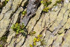 Primo piano delle rocce grige coperte di muschio, modello dei chip, crepe Grindelwald, Svizzera Fotografia Stock