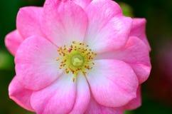 Primo piano delle rose. Fotografie Stock