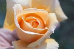 Primo piano delle rose Fotografia Stock Libera da Diritti