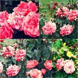 Primo piano delle rose del giardino sul cespuglio Collage delle immagini colorized Foto tonificate messe Fotografia Stock