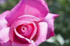 Primo piano delle rose rosa Immagini Stock