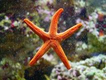 Primo piano delle stelle marine Fotografia Stock