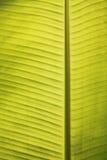 Primo piano delle vene del foglio della banana in sole tropicale di mezzogiorno Immagini Stock Libere da Diritti