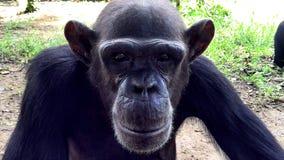 Primo piano dello scimpanzè Fotografia Stock Libera da Diritti
