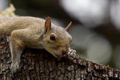 Primo piano dello scoiattolo Fotografia Stock Libera da Diritti