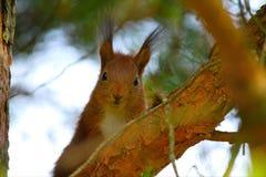 Primo piano dello scoiattolo Fotografia Stock
