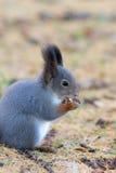Primo piano dello scoiattolo Immagine Stock Libera da Diritti