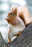Primo piano dello scoiattolo rosso che mangia le nocciole su un albero Fotografie Stock