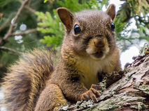 Primo piano dello scoiattolo su un ramo Fotografia Stock