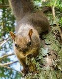 Primo piano dello scoiattolo su un ramo Immagini Stock